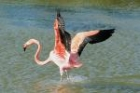 Greater Flamingo by Mick Dryden