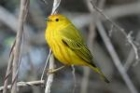 Yellow Warbler by Mick Dryden