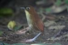 Yellow-breasted Antpitta by Mick Dryden