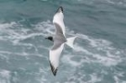 Swallow-tailed Gull by Mick Dryden