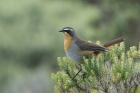 Cape Robin Chat by Mick Dryden