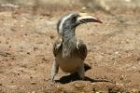 Grey Hornbill by Mick Dryden