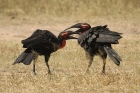Ground Hornbill by Mick Dryden