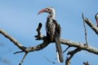 Red-billed Hornbill by Mick Dryden