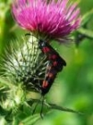 Burnet Moths by Richard Perchard