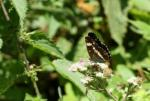 White Admiral by Richard Perchard