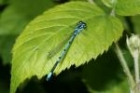 Azure Damselfly by Richard Perchard