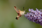 Broad-bordered Bee Hawkmoth by Mick Dryden