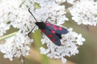Burnet Moth by Mick Dryden