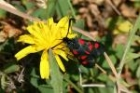 Burnet Moth by Richard Perchard