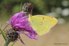 Clouded Yellow by Vikki Robertson
