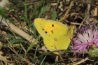 Clouded Yellow by Sarah Scriven