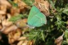 Green Hairstreak by Richard Perchard