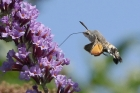 Hummingbird Hawk Moth by Mick Dryden