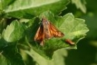Large Skipper by Mick Dryden