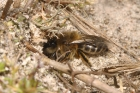 Mining Bee by Richard Perchard