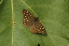 Speckled Wood by Mick Dryden