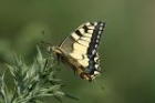 Swallowtail by Mick Dryden