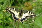 Swallowtail by Alan Gicquel