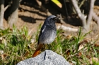 Black Redstart by Alan Modral