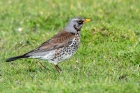 Fieldfare by Romano da Costa
