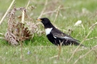 Ring Ouzel by Alan Modral