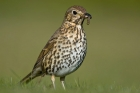 Song Thrush by Romano da Costa