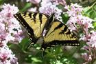 Canadian Tiger Swallowtail by Mick Dryden