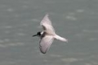 Black Tern by Mick Dryden
