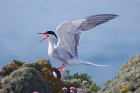 Common Tern by Nick Jouault
