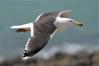 Great Black-backed Gull by Romano da Costa