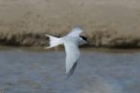 Little Tern by Mick Dryden