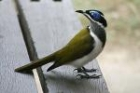 Blue-faced Honeyeater by Mick Dryden