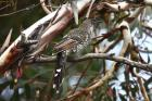 Brush Wattlebird by Mick Dryden