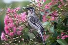 Red Wattlebird by Mick Dryden